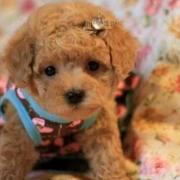 Dark tan poodle puppy with cute small bow.JPG