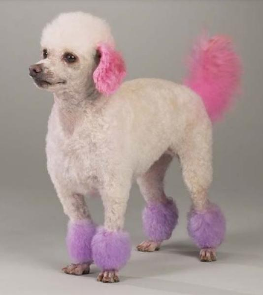 Dog dyed pur pictures of poodles.JPG