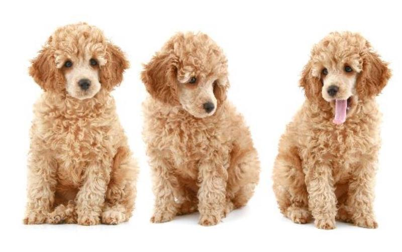 Dog poster photo of beautiful dark tan poodle dogs.JPG
