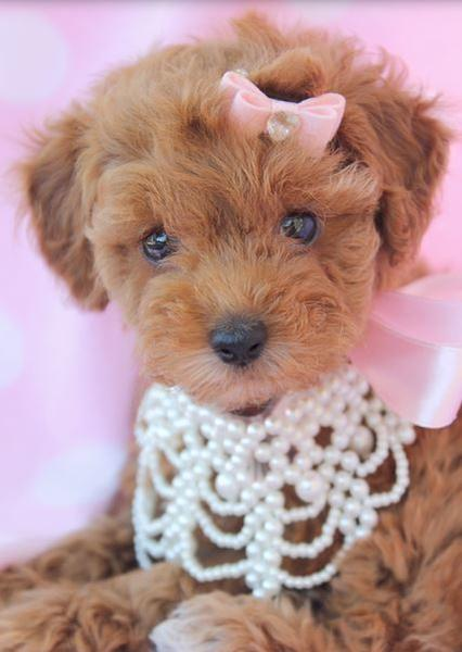 Fancy poodle puppy picture with beautiful necklace.JPG