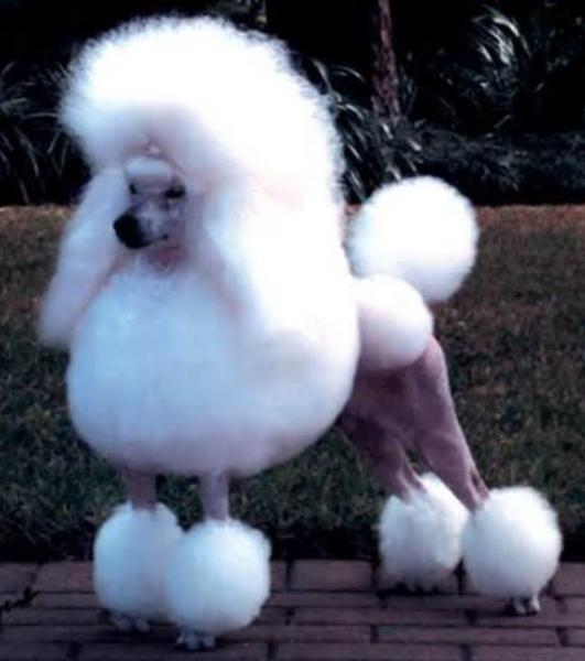 French miniature poodle puppy with beautiful poodle haircuts picture.JPG