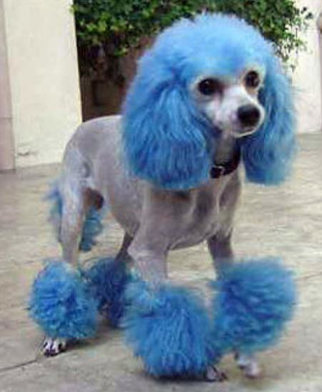 Funny blue teacup poodle picture.JPG
