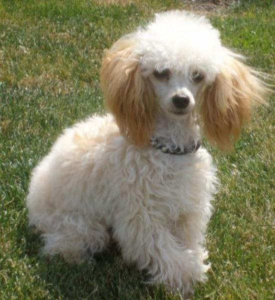 Large French poodle with long ears.JPG