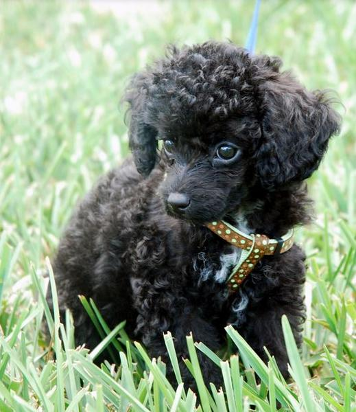 Curly hair dogs picture of black toy poodle puppy standing on the grass.JPG