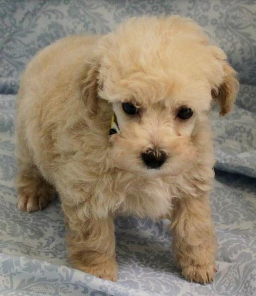 Cute looking cream poodle puppy picture.JPG
