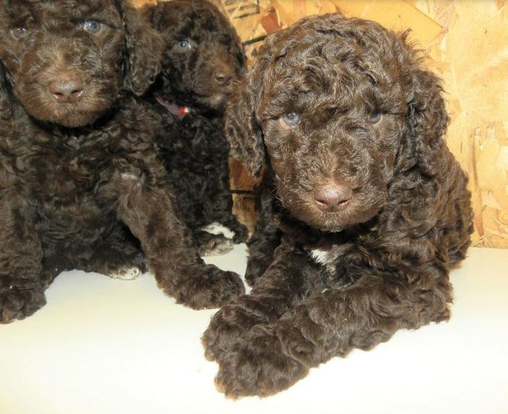 Chocolate poodle puppies picture.JPG
