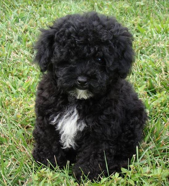 Black toy poodle Maltese mixed puppy.JPG