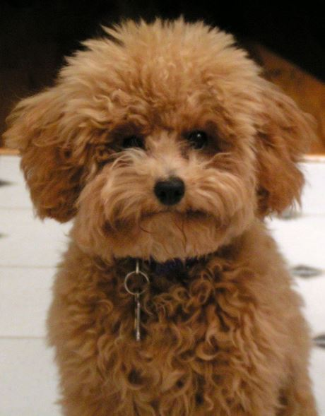 Brown fluffy poodle puppy picture.JPG