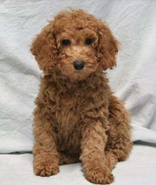Brown miniature poodle breed with curly pur.JPG