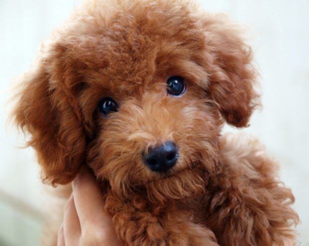 Brown poodle puppy images.JPG