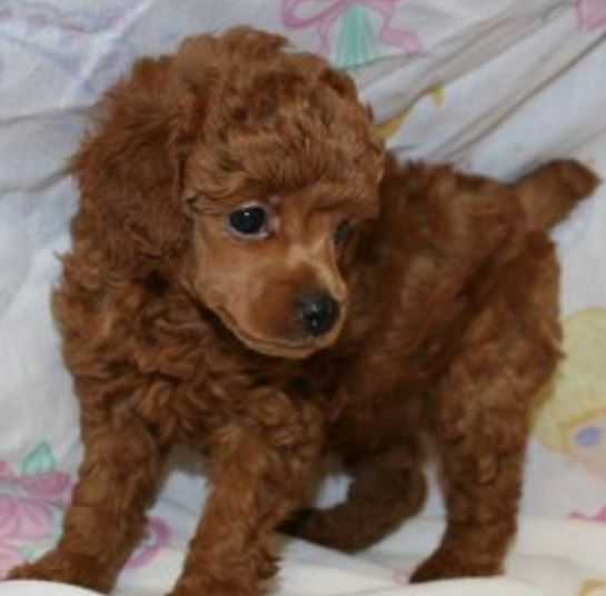 Brownish red miniature poodle puppy picture.JPG