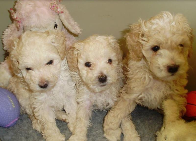 Cream poodle dogs picture.JPG