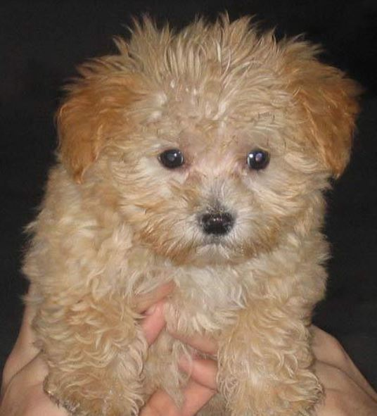Close up photo of cute Maltese Poodle Mix dog.JPG