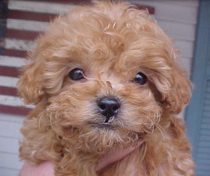 Close up picture of Apricot toy poodle puppy picture.JPG