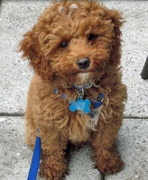Cocker Spaniel poodle mix breeding.JPG