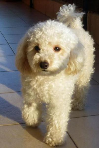 Cream fuffy toy poodle puppy photo.JPG
