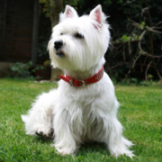 West Highland White Terrier Puppies Photo