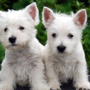 Beautiful white westie pups picture.PNG