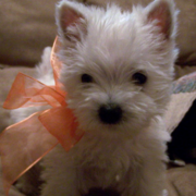 Cute puppy pictures of Roseneath Terrier breed.PNG