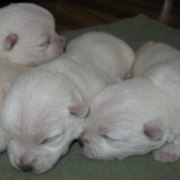 Newborn westie puppies pictures.PNG