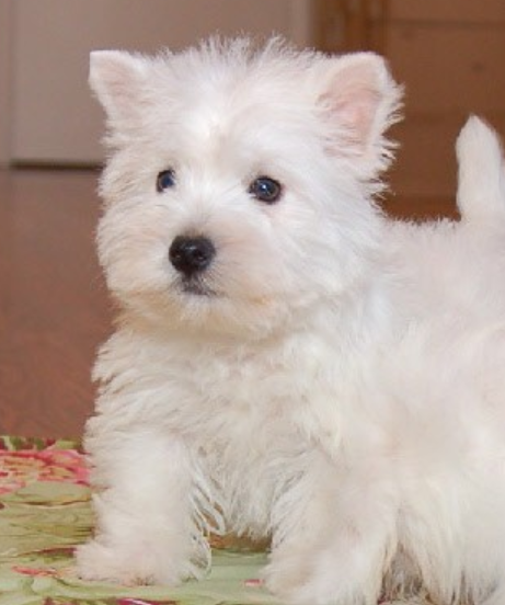 Roseneath Terrier pup picture.PNG