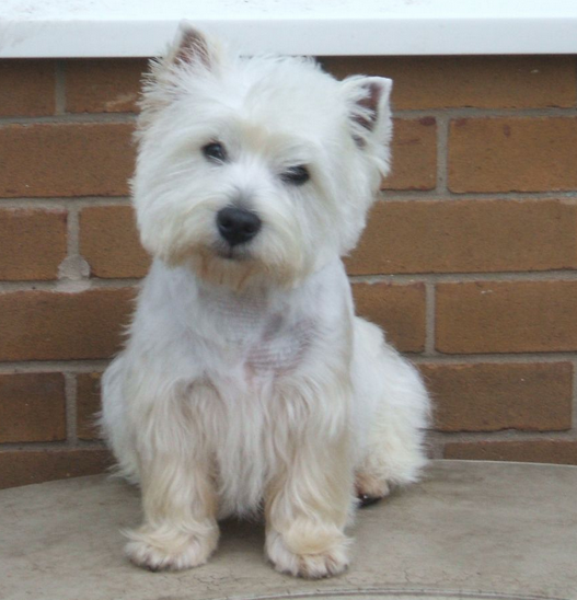 Roseneath Terrier puppy picture.PNG