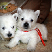 Scottish dogs breeding pictures of westie pups.PNG