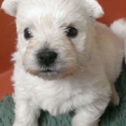 Small pup picture of white terrier puppy.PNG