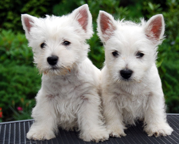 The West Highland White Terrier puppies pictures.PNG