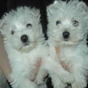 Two Poltalloch Terrier breedings.PNG