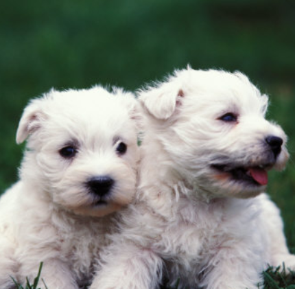 Two Westy puppies picture.PNG