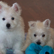 Two white Poltalloch Terriers picture.PNG