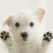 West Highland White terrier breed picture.PNG