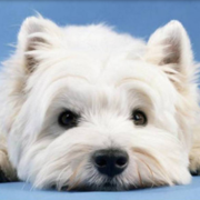 West Highland White Terrier pup face close up picture.PNG