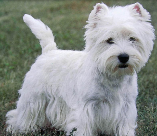 West Highland White Terrier pup picture.PNG
