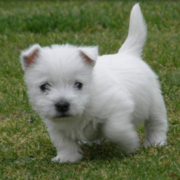 West Highland White terrier pup playing on the grass.PNG