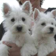 Westie Puppies in white.PNG