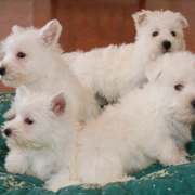 Westie Puppies photos.PNG