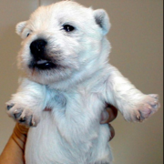 Westie Puppy photo.PNG