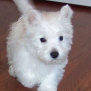 Westie Puppy photos.PNG