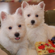 Westy puppies picture.PNG