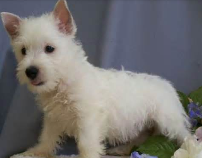 White puppy puppy pictures of Westie dog.PNG