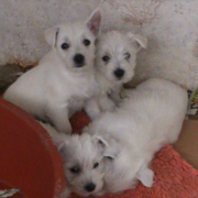 White Roseneath Terrier dogs picture.PNG