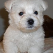 White Roseneath Terrier pup picture.PNG