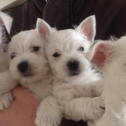 White Roseneath Terrier puppies photos.PNG