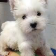 White Roseneath Terrier puppy picture.PNG