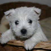 White terrier puppy image.PNG