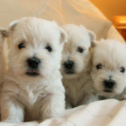 White Westie breeds pictures.PNG