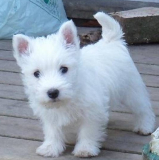 White young Poltalloch Terrier puppy picture.PNG