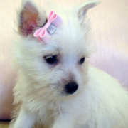 Adorable puppies pictures of Westie terrier with cute pink bow.PNG